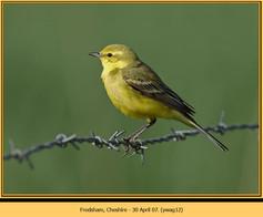 yellow-wagtail-12.jpg
