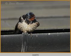 swallow-35.jpg