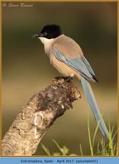 azure-winged-magpie-01.jpg