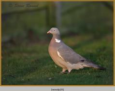 wood-pigeon-29.jpg