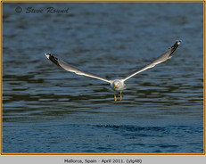yellow-legged-gull-48.jpg