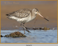 bar-tailed-godwit-25.jpg