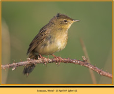 grasshopper-warbler-16.jpg
