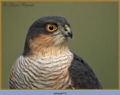 sparrowhawk-57.jpg