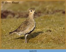 golden-plover-40.jpg