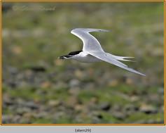 sandwich-tern-29.jpg