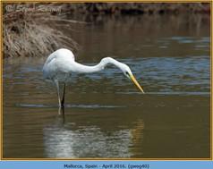 great-white-egret-40.jpg