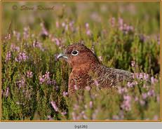 red-grouse-126.jpg