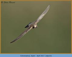 alpine-swift-16.jpg