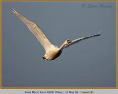 mute-swan-18.jpg