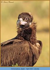 black-vulture-16.jpg