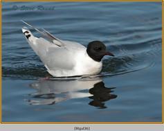 little-gull-36.jpg
