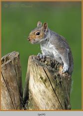 grey-squirrel-24.jpg