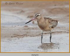 bar-tailed-godwit-32.jpg