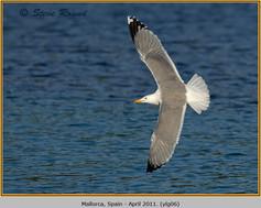 yellow-legged-gull-06.jpg