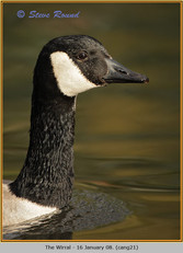 canada-goose-21.jpg
