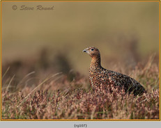 red-grouse-107.jpg