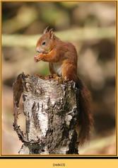 red-squirrel-13.jpg