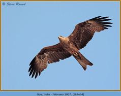 black-kite-04.jpg