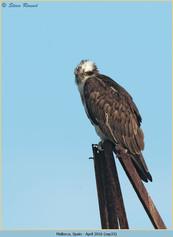 osprey-33.jpg