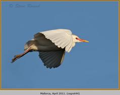 cattle-egret-44.jpg