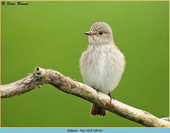 Spotted Flycatcher, Muscicapa striata perched on branch