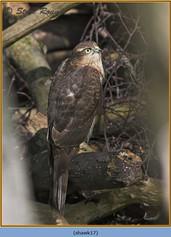 sparrowhawk-17.jpg