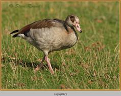 egyptian-goose-07.jpg