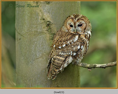 tawny-owl-23.jpg