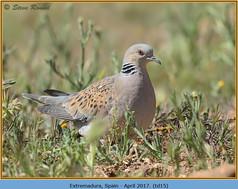 turtle-dove-15.jpg
