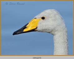 whooper-swan-23.jpg