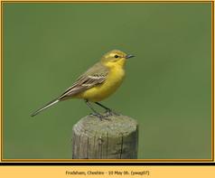 yellow-wagtail-07.jpg