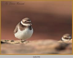 ringed-plover-54.jpg