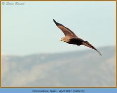 black-kite-13.jpg