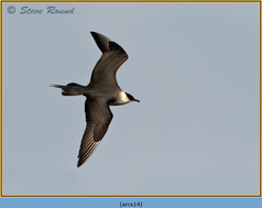 arctic-skua-14.jpg