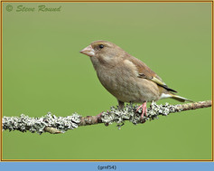 greenfinch-54.jpg