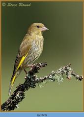 greenfinch-72.jpg
