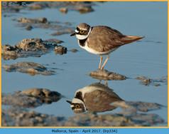 little-ringed-plover-34.jpg
