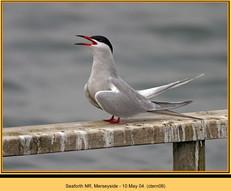 common-tern-06.jpg