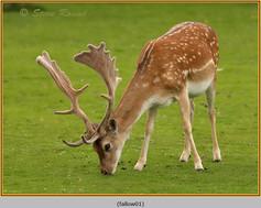 fallow-deer-01.jpg