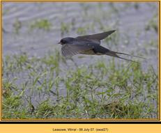 swallow-27.jpg