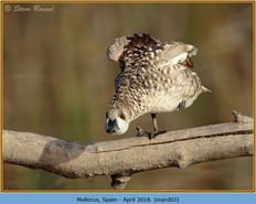 marbled-duck-03.jpg