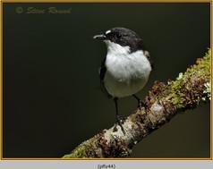 pied-flycatcher-44.jpg
