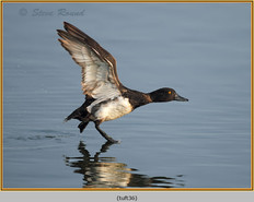 tufted-duck-36.jpg