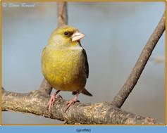greenfinch-96.jpg
