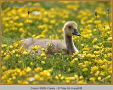 canada-goose-03.jpg