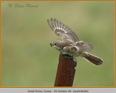 woodchat-shrike-06.jpg
