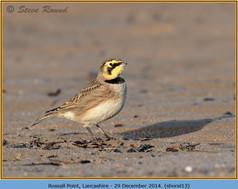 shore-lark-13.jpg