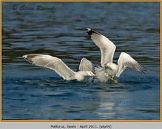 yellow-legged-gull-44.jpg