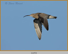 curlew-53.jpg
